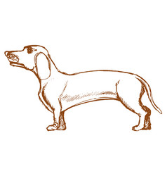 dachshund side view vector image vector image
