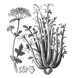 Celery vintage engraving vector image