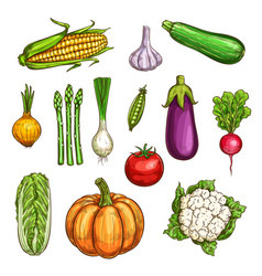 Isolated color vegetables sketches set vector