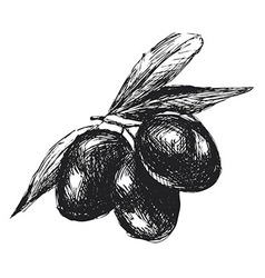 Hand sketch black olives vector