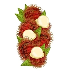 Rambutan isolated composition vector