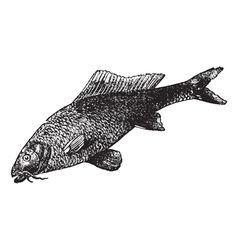 common carp vintage engraving vector image