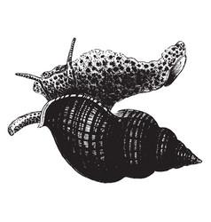 Whelk vintage vector