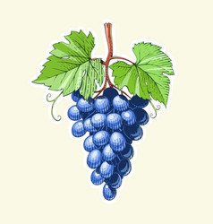 grapes bunch of berrys vector image vector image