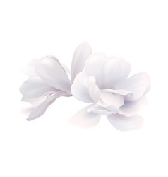 Two white beautiful magnolia vector