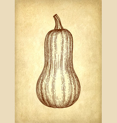 Ink sketch of butternut squash vector