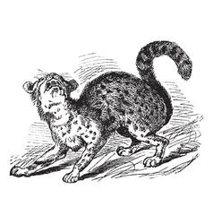 Oncilla vintage engraving vector image vector image