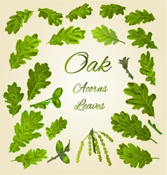 Oak leaves and acorns nature vector