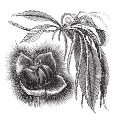 Chestnut vintage engraving vector image