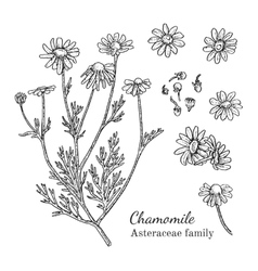 Ink chamomile hand drawn sketch vector