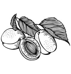 Apricots monochrome drawing vector