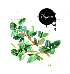 Watercolor hand drawn thyme bunch isolated eco vector