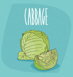 Isolated ripe green cabbage vegetable vector