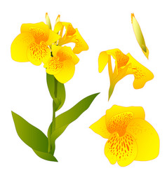 Yellow canna indica - canna lily indian shot vector