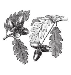 English oak vintage engraving vector