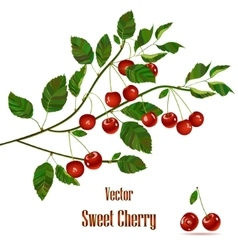 Green branch with red cherries vector