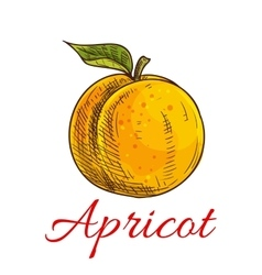 Apricot fruit sketch icon vector
