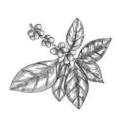 coffee branch with leaf berry coffee bean fruit vector image vector image