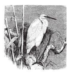 European little white egret vintage vector