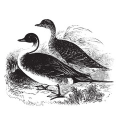 Pintail duck vintage vector