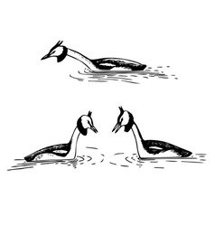 great crested grebe vector image