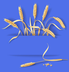 Wheat ears on blue vector