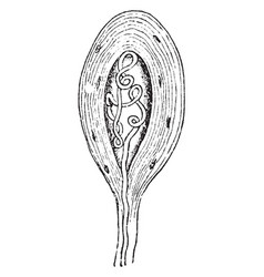 Termination of a medullated nerve fiber vintage vector