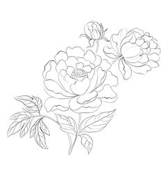 Peonies ink background vector