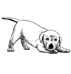 Labrador Retriever puppy 03 1 vector image