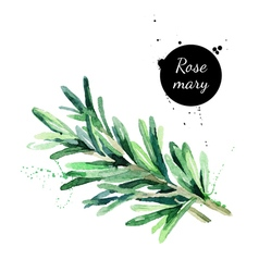 Watercolor hand drawn twig of rosemary isolated vector