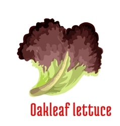 Red oakleaf lettuce vegetable isolated icon vector