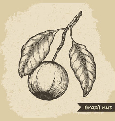 Brazil nut fruit vintage engraved vector