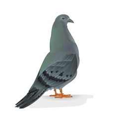 Carrier pigeon domestic breed sports bird i vector
