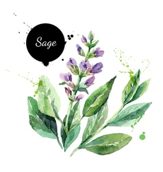Watercolor hand drawn bunch of flowering sage vector