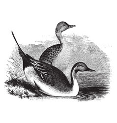 Pin tail ducks vintage vector