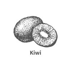 hand-drawn kiwi vector image