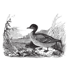 American green winged teal vintage vector