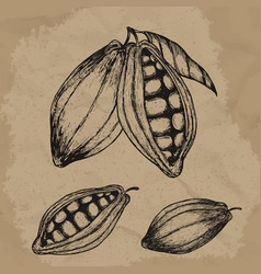 cocoa beans hand drawn chocolate vector image