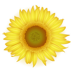 Blooming sunflower in realistic style vector
