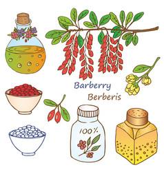 berberis vector image vector image