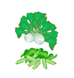 Fresh green pok choi on a white background vector