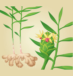 ginger plant vector image