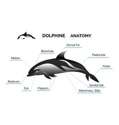 Dolphine Anatomy vector image