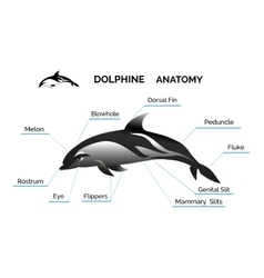 Dolphine anatomy vector