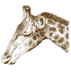 engraving of giraffe head vector image vector image
