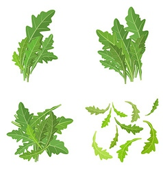 Bunch fresh arugula herb isolated set vector