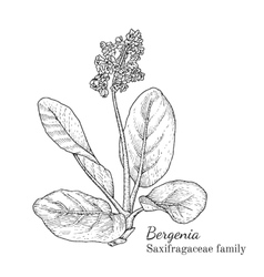 Ink bergenia hand drawn sketch vector