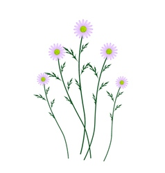 Violet daisy blossoms on a white background vector