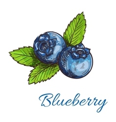 Blueberry fruits with leaves isolated sketch vector image