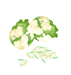 Fresh white cauliflower on a white background vector